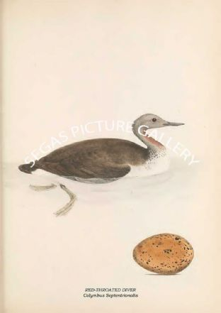 RED-THROATED DIVER - Colymbus Septentrionalis